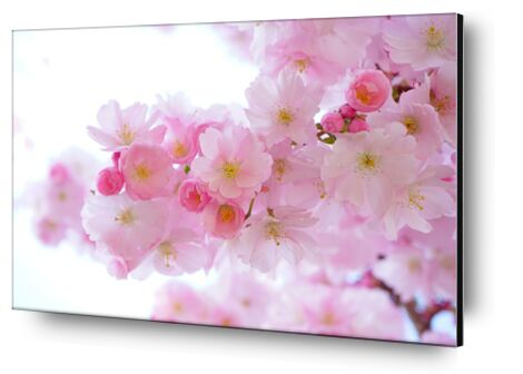 Cherry blossoms from Pierre Gaultier, Prodi Art, Art photography, Aluminum mounting, Prodi Art
