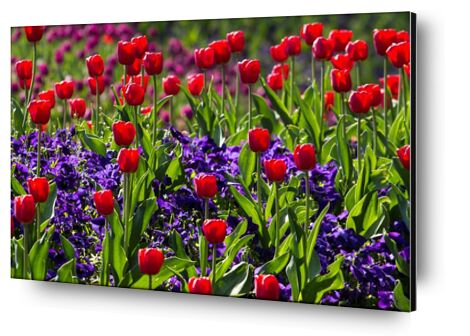 Spring tulips from Pierre Gaultier, Prodi Art, Art photography, Aluminum mounting, Prodi Art