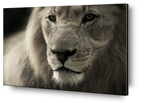 Lion from Pierre Gaultier, Prodi Art, Art photography, Aluminum mounting, Prodi Art