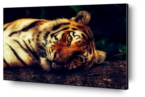 Lying Tiger from Pierre Gaultier, VisionArt, Art photography, Aluminum mounting, Prodi Art