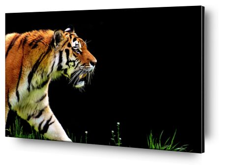 Tiger walking from Pierre Gaultier, VisionArt, Art photography, Aluminum mounting, Prodi Art