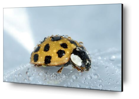 Yellow ladybird from Pierre Gaultier, Prodi Art, Art photography, Aluminum mounting, Prodi Art