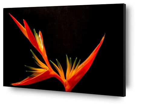 Colors of an orchid from Pierre Gaultier, Prodi Art, Art photography, Aluminum mounting, Prodi Art