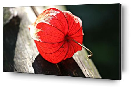 Lampion of flower from Pierre Gaultier, Prodi Art, Art photography, Aluminum mounting, Prodi Art