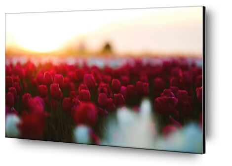 Rouge tulipe from Aliss ART, VisionArt, Art photography, Aluminum mounting, Prodi Art