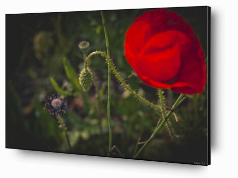 Tulipe de Caro Li, Prodi Art, Photographie d'art, Contrecollage aluminium, Prodi Art