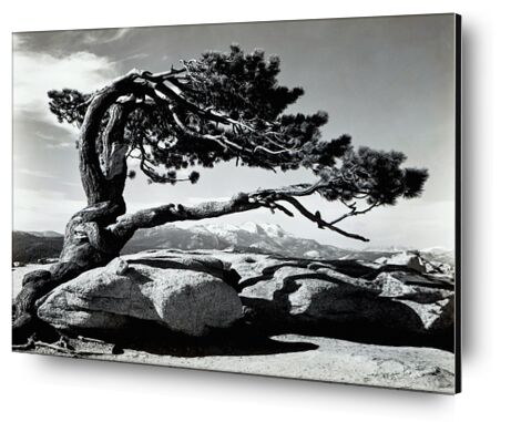 Jeffrey Pine, Sentinel Dome - ANSEL ADAMS 1940 from Aux Beaux-Arts, Prodi Art, Art photography, Aluminum mounting, Prodi Art