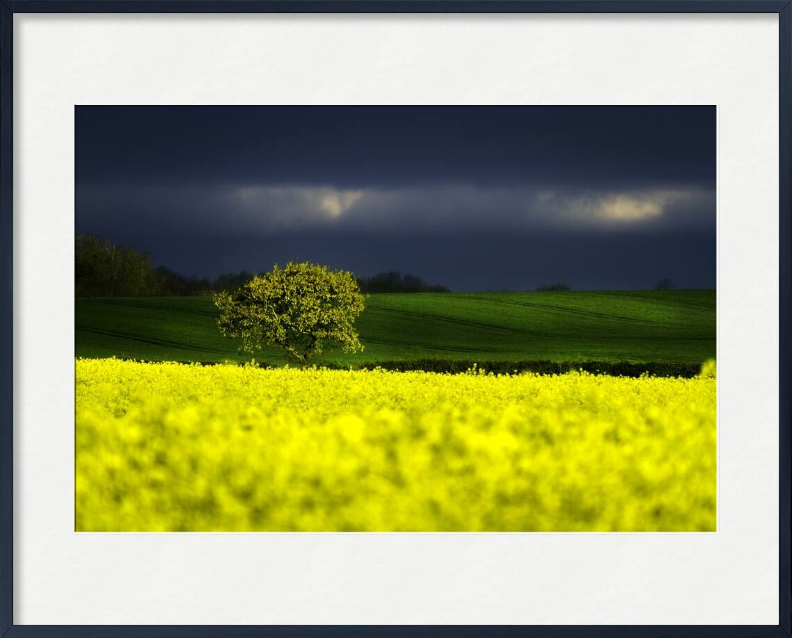 The yellow field from Pierre Gaultier, Prodi Art, vibrant, trees, sky, rural, rapeseed, outdoors, nature photography, nature, hills, grass, flowers, field, dark clouds, dark, countryside, country, cloudiness, clouds, agriculture