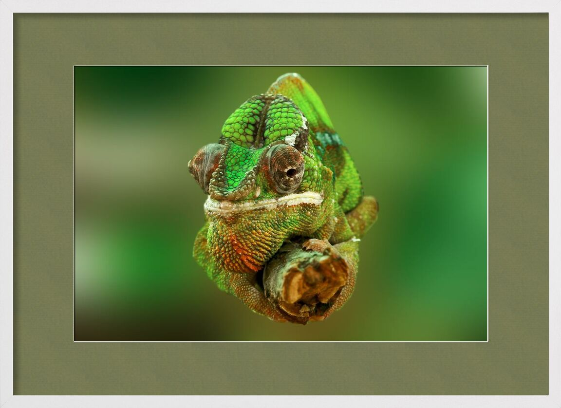 Chameleon from Pierre Gaultier, Prodi Art, close-up, colorful, colourful, green, lizard, reptile, , chameleon