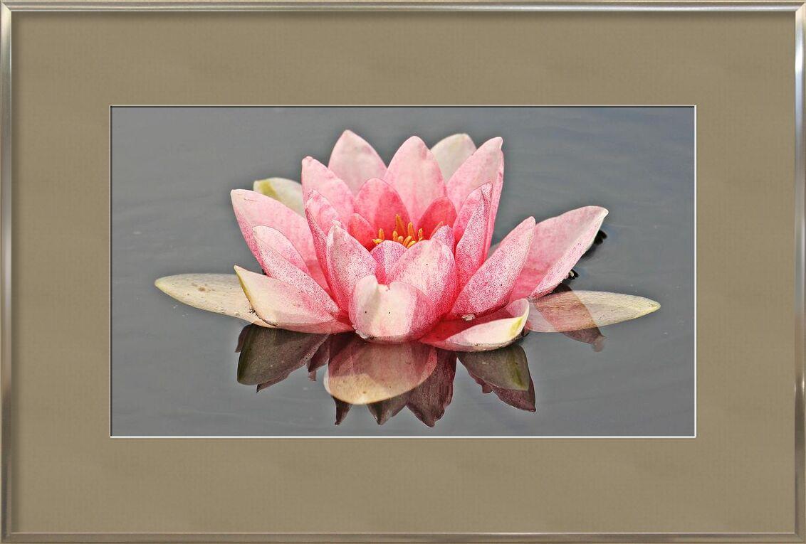 Le nénuphar rose de Pierre Gaultier, Prodi Art, Floraison, fleur, flore, fleur, nymphée, pétales, plante, étang, eau, nénuphar