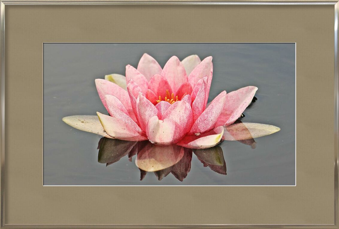The pink water lily from Pierre Gaultier, Prodi Art, bloom, blossom, flora, flower, nymphaea, petals, plant, pond, water, waterlily