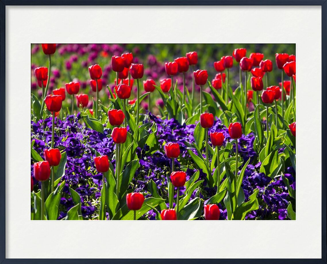 Les tulipes du printemps de Pierre Gaultier, Prodi Art, Floraison, fleur, flore, fleurs, nature, printemps, tulipes, fleurs sauvages