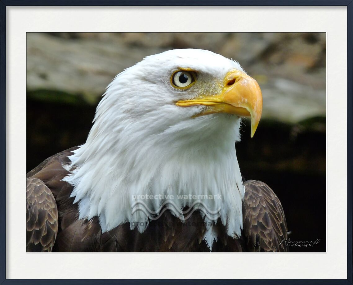 L'oeil de l'Aigle de Mayanoff Photography, Prodi Art, Aigle chauve, aigle, oeil, portrait, rapace, oiseau, aigle, œil, oiseau de proie, pygargue à tête blanche, pygargue, aigle pêcheur, aigle