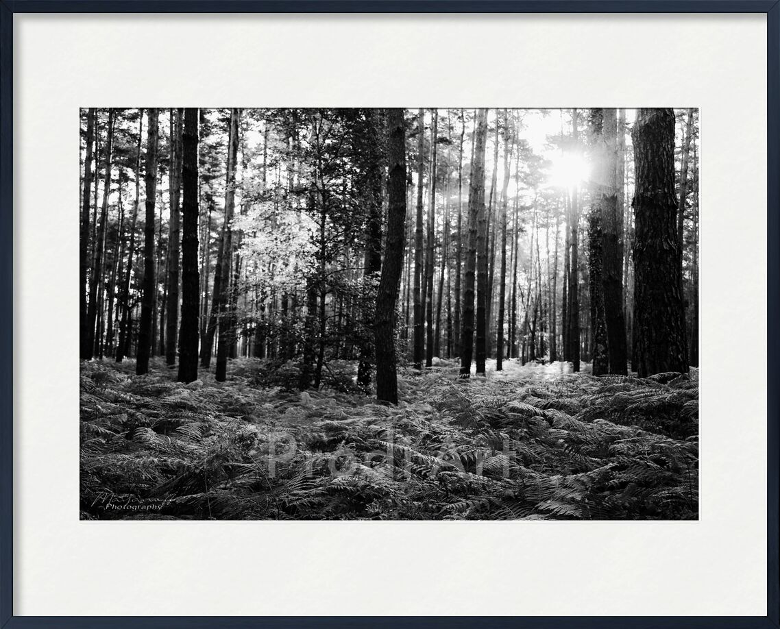The forest from Mayanoff Photography, Prodi Art, Fotêt, atmosphere, trees, forest, morning, black-and-white, mood, nature, ferns, Sun, trees