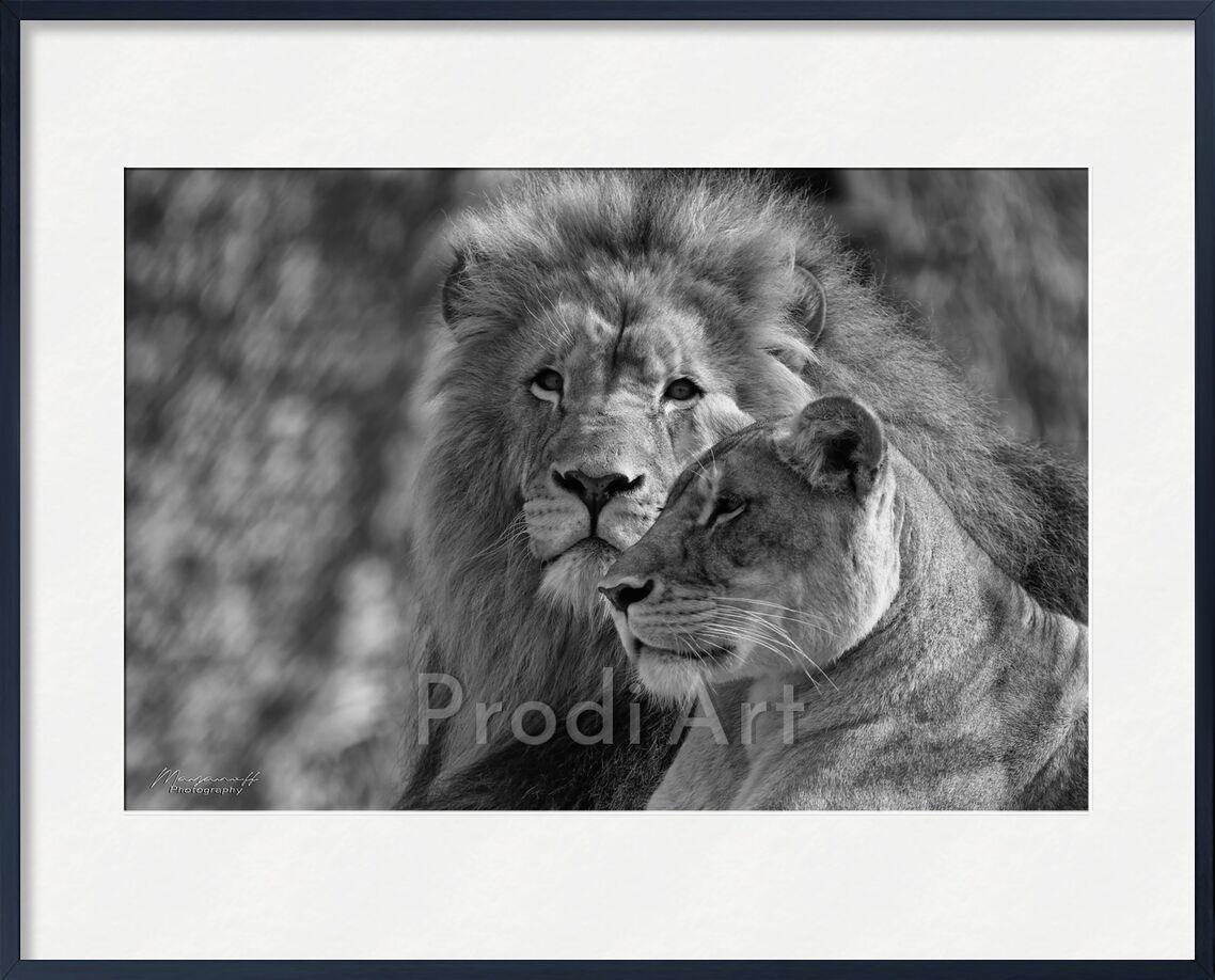 Regards croisés de Mayanoff Photography, Prodi Art, Lion, lionne, noir et blanc, animaux, félins, lionne, noir et blanc, animaux, félins