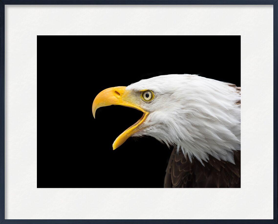 Beak of the Eagle from Pierre Gaultier, Prodi Art, bald eagle, raptor, head, close, adler, bird of prey, bird, bill, white tailed eagle, nature, animal, portrait, wild bird, white head, bald eagles