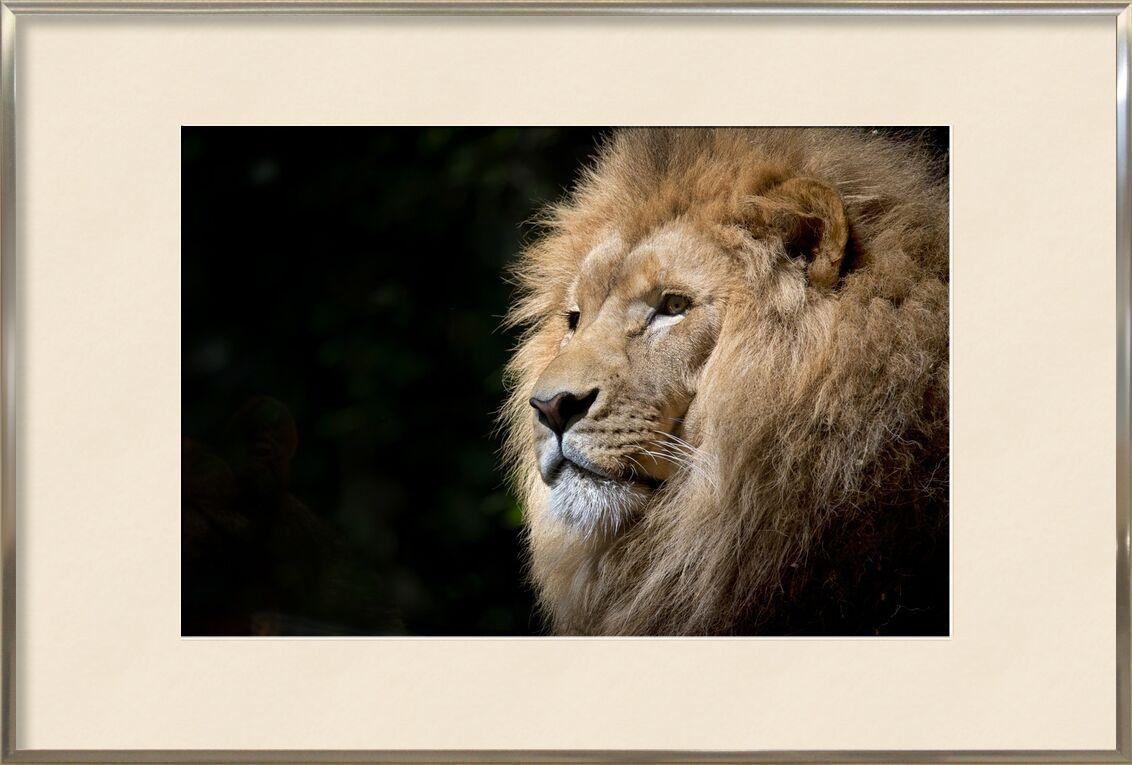 The Feline from Pierre Gaultier, Prodi Art, Lion, wild, africa, african, felines, zoo, fauna, tawny, animal, wild animal, majesty, portrait, feline, animal portrait
