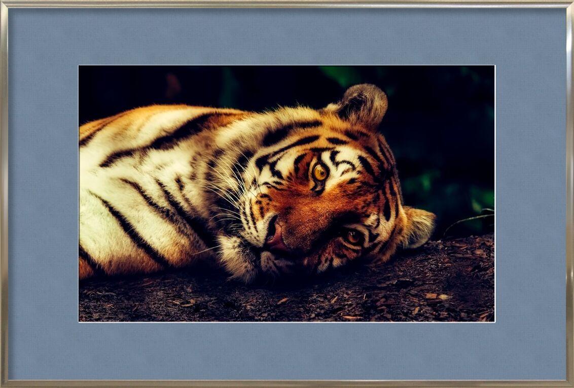 Tigre couché de Pierre Gaultier, Prodi Art, prédateur, gros plan, macro, repos, faune, animal, tigre