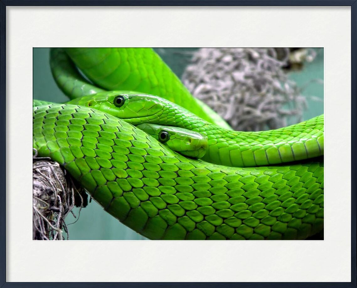 Green manbas from Pierre Gaultier, Prodi Art, poisonous, snake, reptile, poison, pattern, nature, mamba, lizard, green mamba, green, animal