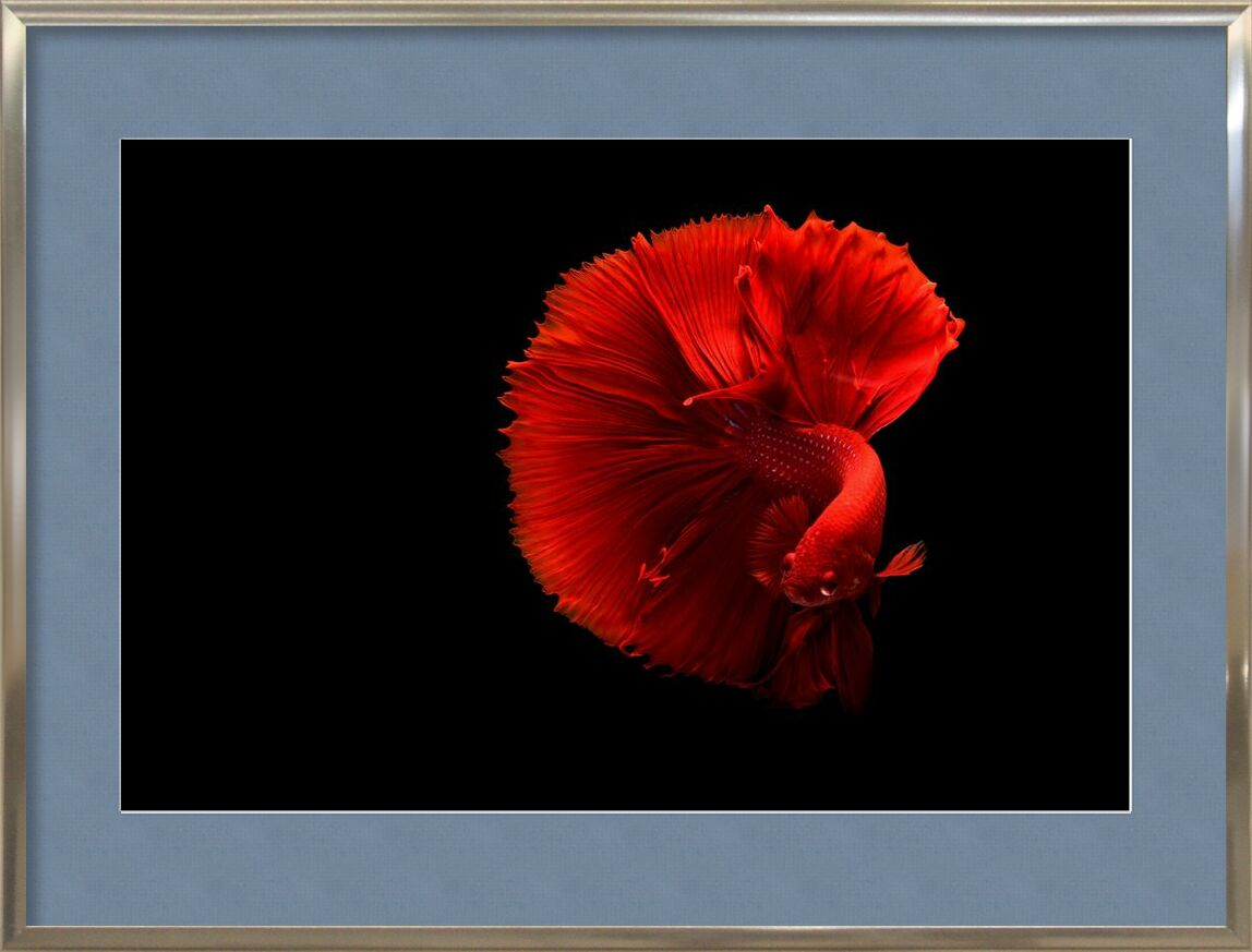 Siamese fighting fish from Pierre Gaultier, Prodi Art, art, beautiful, bright, color, coloring, contrast, dark, delicate, fish, love, red, siamese fighting fis