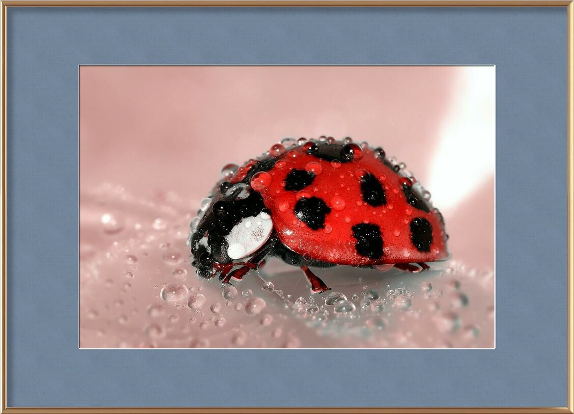 Red Ladybird from Pierre Gaultier, Prodi Art, drop, water, spotted, nature, macro, lucky charm, ladybug, insect, dew, close-up, bug, beetle