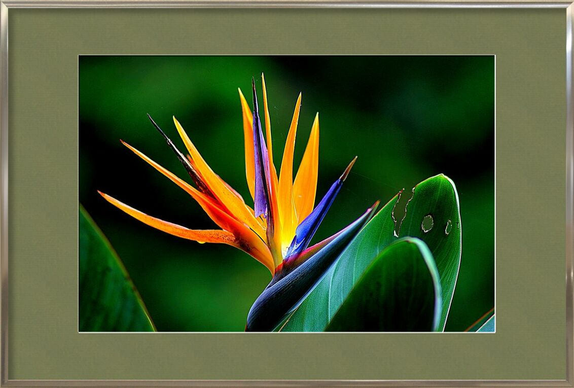Zoom on strelitzia from Pierre Gaultier, Prodi Art, bloom, blossom, close-up, environment, floral, flower, leaves, plant, stem, strelitzia, wildflower