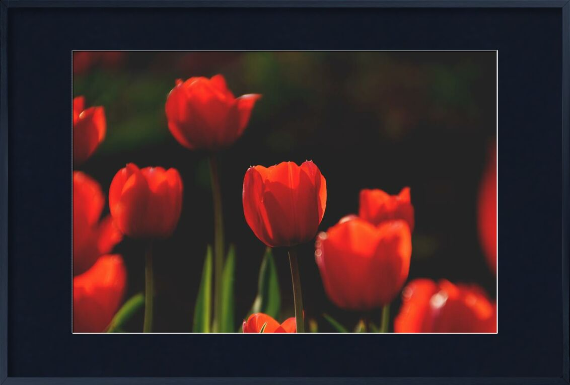 Our red tulips from Pierre Gaultier, Prodi Art, bloom, blooming, blossom, blur, botanical, bright, close-up, field, flora, flowers, garden, growth, leaves, nature, outdoors, petals, red, tulips