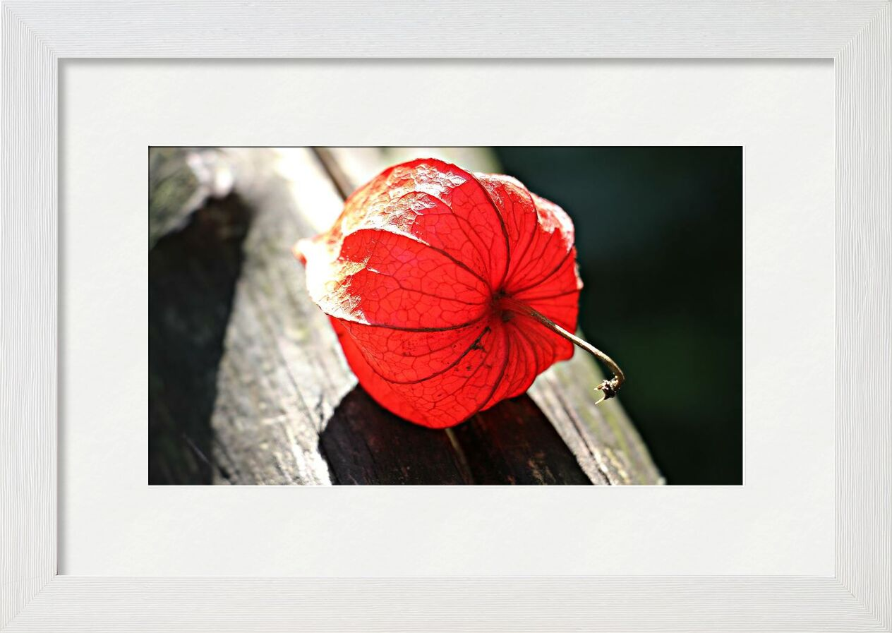 Lampion of flower from Pierre Gaultier, Prodi Art, beautiful, bloom, blossom, bright, close-up, color, decoration, delicate, flora, flower, garden, lampion, ornamental, plant, outdoors, still, life, summer, sunlight, wood