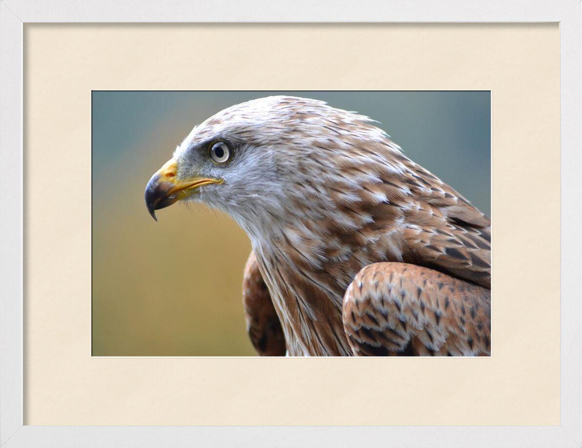 Piercing gaze from Pierre Gaultier, Prodi Art, animal, avian, bird, bird of prey, close-up, view, eagle, falcon, feathers, flight, hunter, plumage, predator, pride, raptor, wild, wildlife, wing