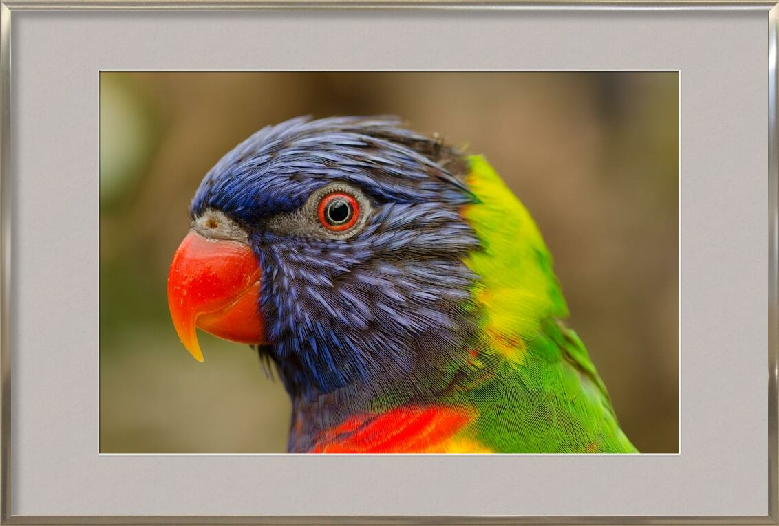 Parrot of the islands from Pierre Gaultier, Prodi Art, animal, beak, bird, closeup, eye, fauna, flying, parrot, rainforest, tropical, zoo