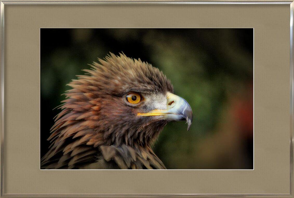 Oiseau royale de Pierre Gaultier, Prodi Art, plumage, macro, gros plan, oiseau, photographie animale, animal