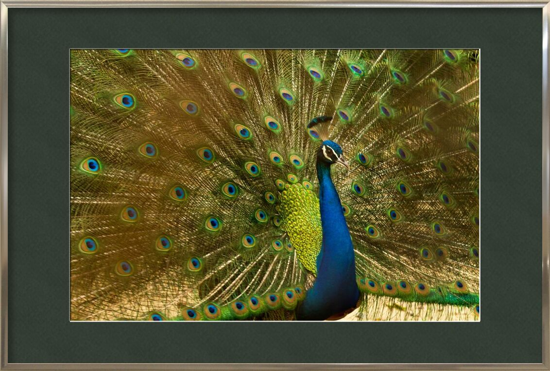 The wings of the pan from Pierre Gaultier, Prodi Art, animal, bird, blue, bright, colorful, elegant, exhibition, feathers, green, head, male, pattern, peacock, showing, tail, wildlife