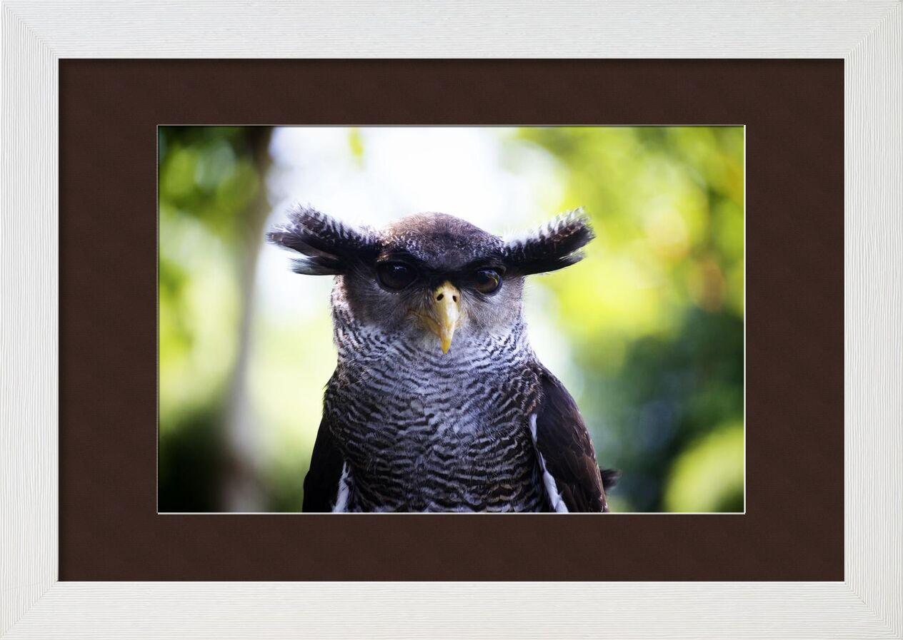 Owlet from Pierre Gaultier, Prodi Art, owl, head, close up, bird, animal