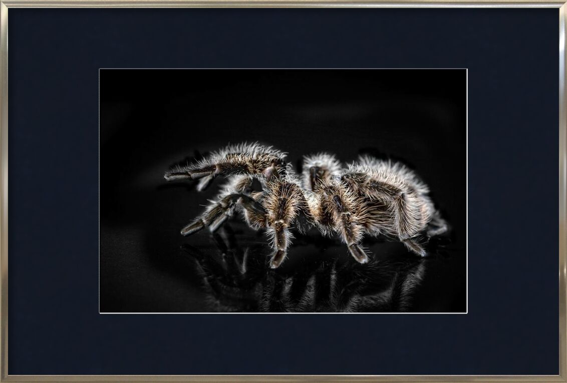 The spider from Pierre Gaultier, Prodi Art, animal, arachnid, close-up, creepy, dangerous, disgust, disgusting, exotic, hairy, insect, invertebrate, little, macro, nature, poisonous, scary, spider, tarantula