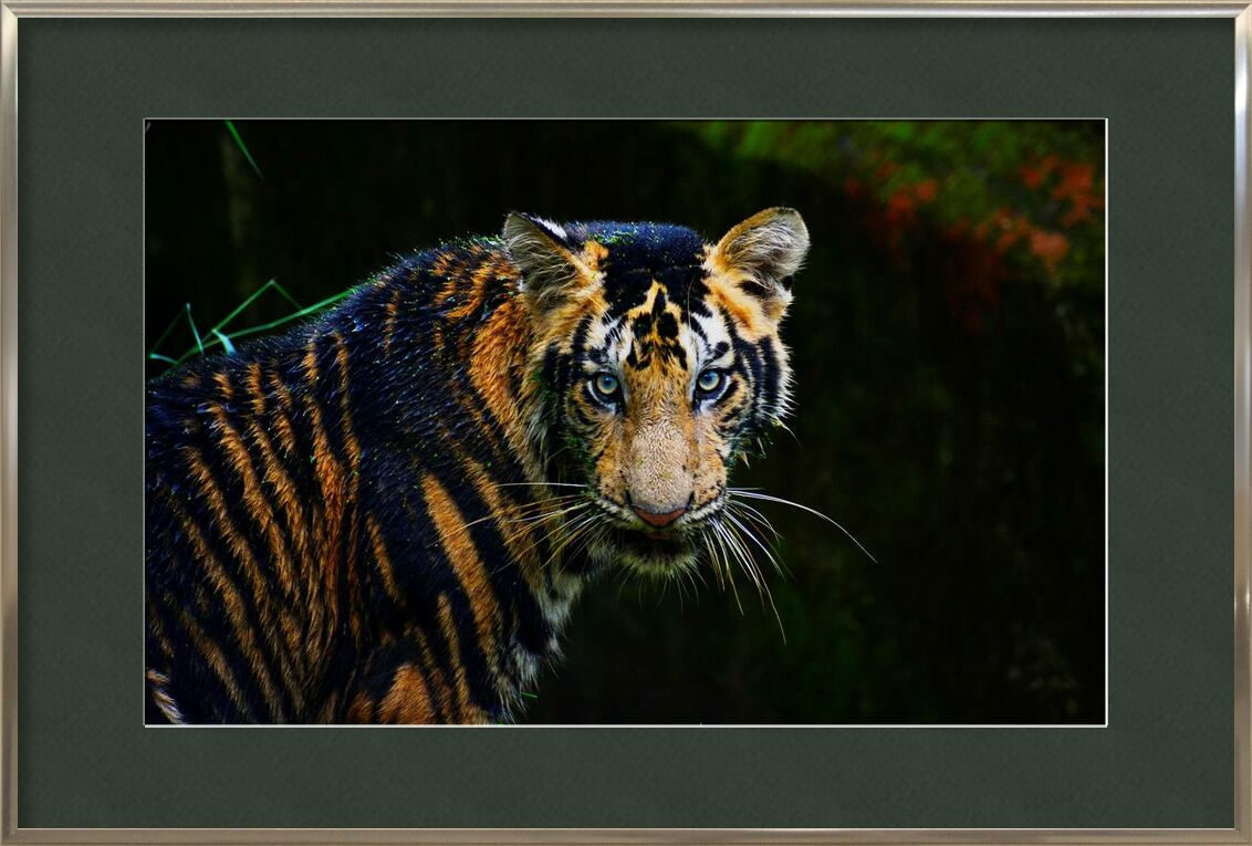 Radiation de Aliss ART, Prodi Art, animal, gros chat, carnivore, dangereux, mammifère, prédateur, safari, tigre, animal sauvage, chat sauvage, faune, zoo, en voie de disparition