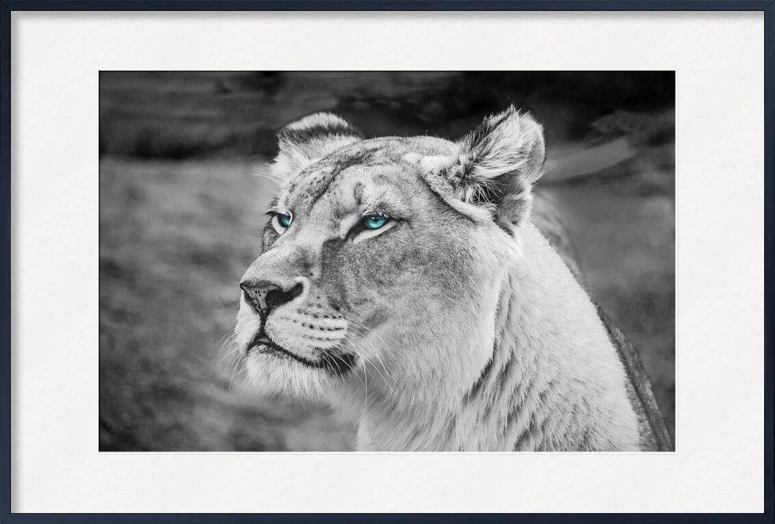 Regard percant from Aliss ART, Prodi Art, animal, animal photography, big, big cat, black and white, blurred background, carnivore, dangerous, defocused, endangered, eyes, face, felidae, feline, fur, head, hunter, mammal, predator, whiskers, wild, wild animal, wildlife, close -up, lioness