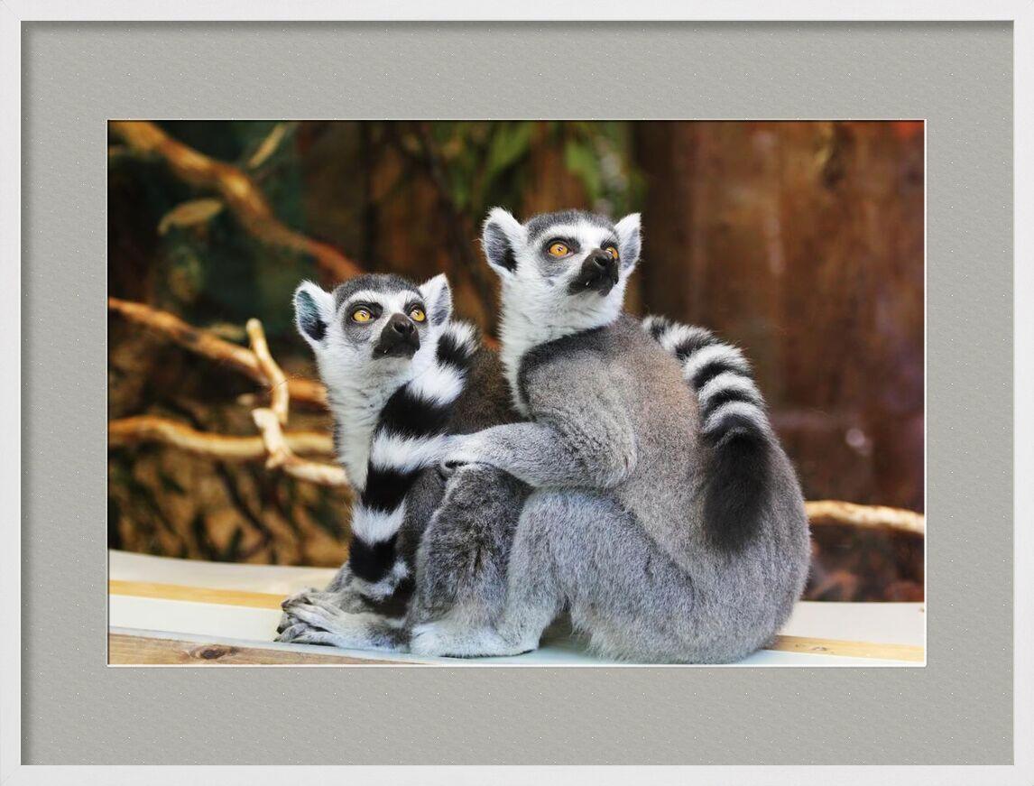 Regard intense from Aliss ART, Prodi Art, primate, lemurs, lemur catta, furry, wildlife, outdoors, nature, cute, animals