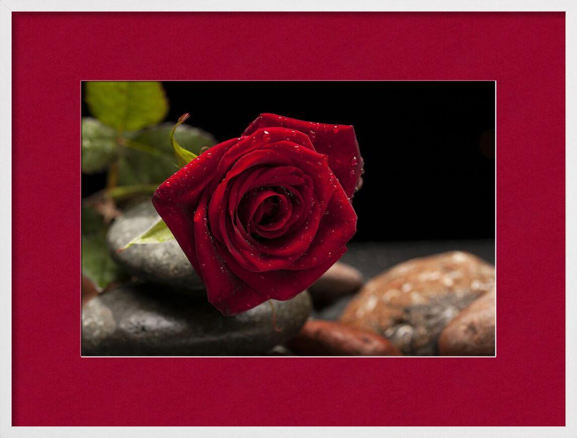 Sorry my love from Aliss ART, Prodi Art, pink, rocks, petals, macro, leaves, focus, flora, dew, depth of field, delicate, close-up, blur, flower, blooming, bloom