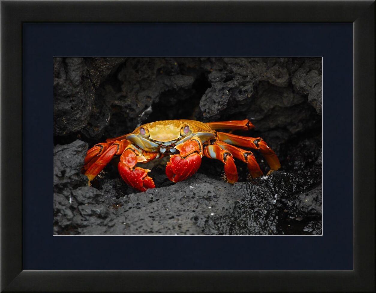 سلطعون from Aliss ART, Prodi Art, shellfish, red rock crab, grapsus grapsus, crustacean, crab, rocks, creature, animal