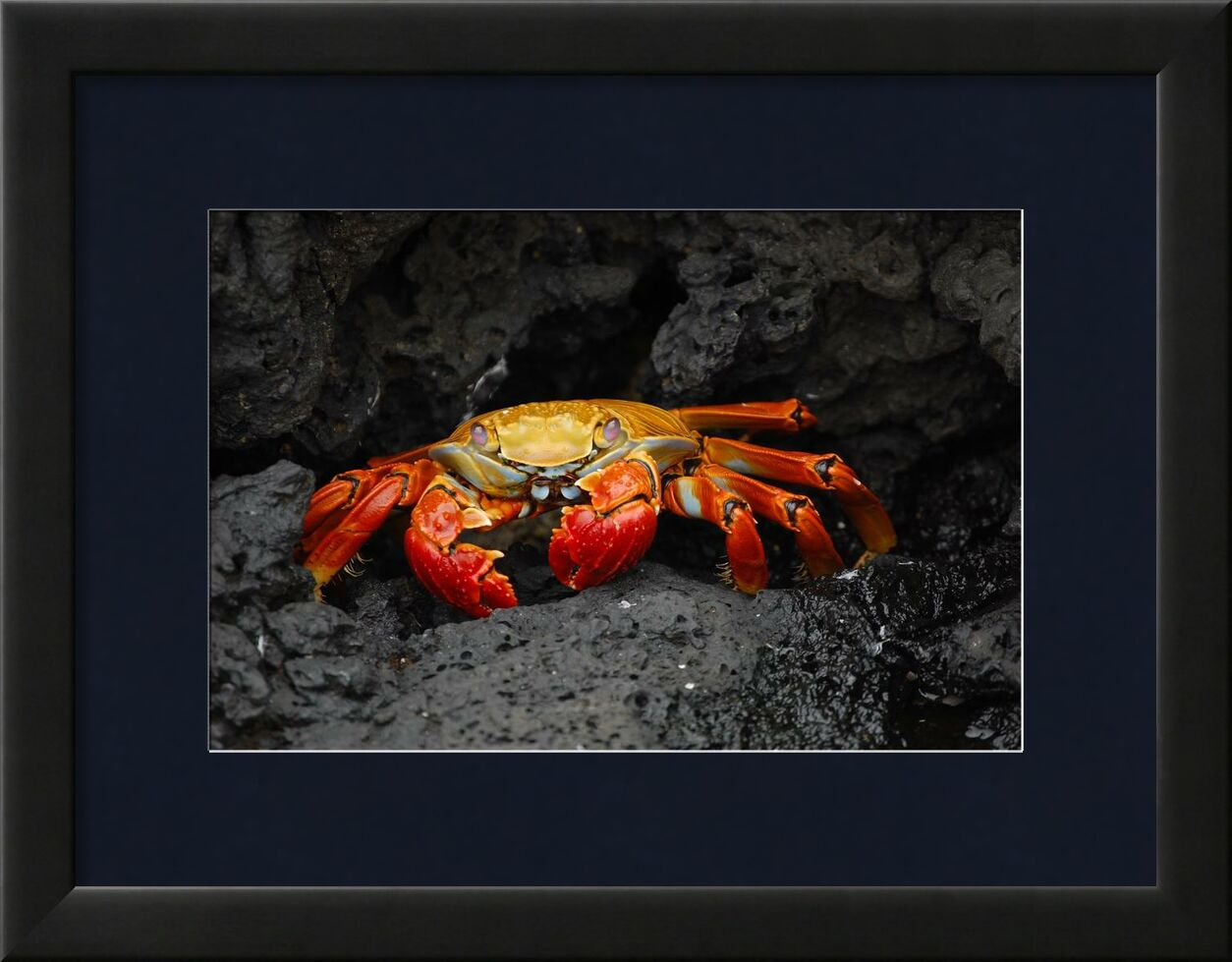 Crab from Aliss ART, Prodi Art, animal, creature, rocks, crab, crustacean, grapsus grapsus, red rock crab, shellfish