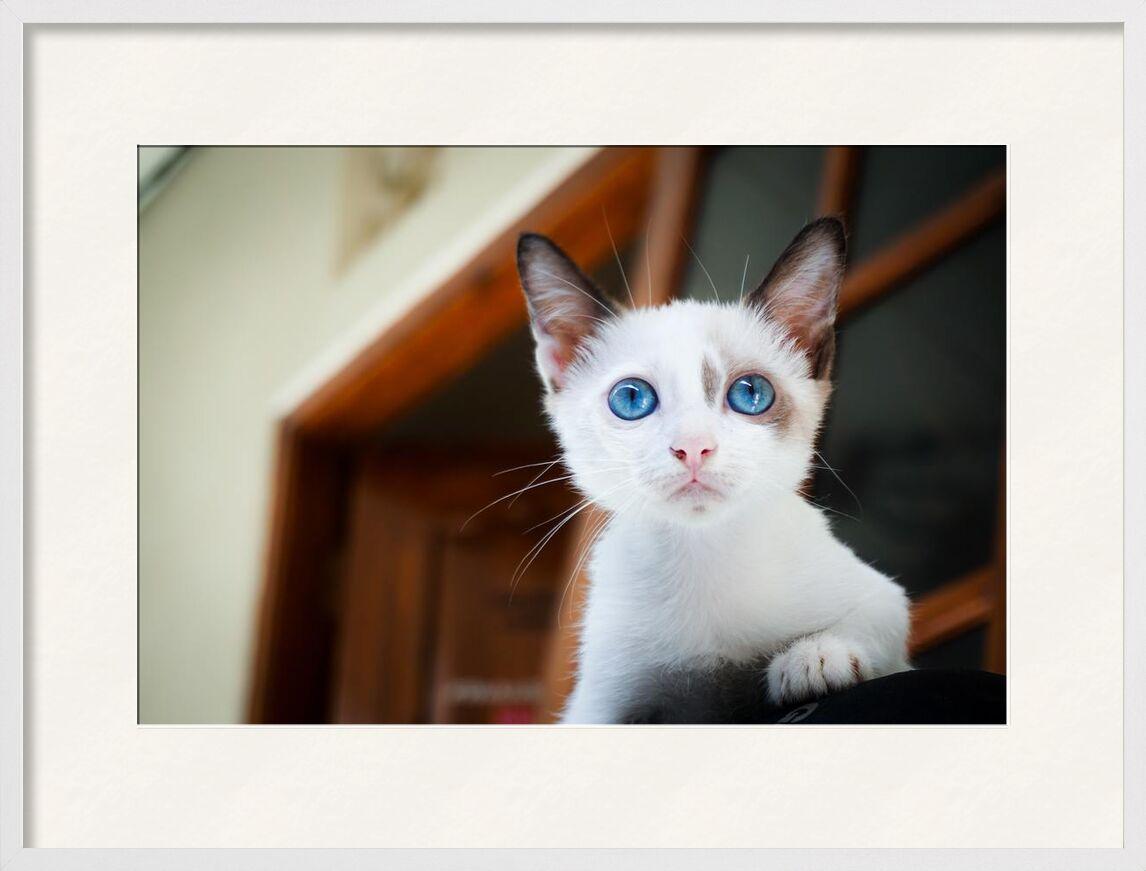 Chaton de Aliss ART, Prodi Art, animal, photographie animale, yeux bleus, brouiller, Chat, gros plan, mignonne, les yeux, félin, concentrer, fourrure, peu, en regardant, mammifère, animal de compagnie, blanc, Jeune, adorable, flou, chat domestique, félidés, chaton, minou, museau, moustaches