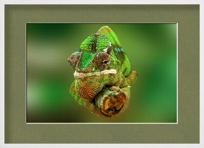 Chameleon from Pierre Gaultier, VisionArt, Art photography, Framed artwork, Prodi Art