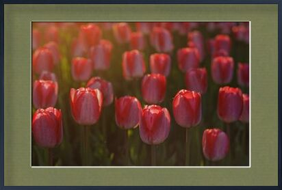 Pink tulips from Pierre Gaultier, Prodi Art, Art photography, Framed artwork, Prodi Art