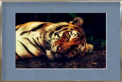 Lying Tiger from Pierre Gaultier, Prodi Art, Art photography, Framed artwork, Prodi Art