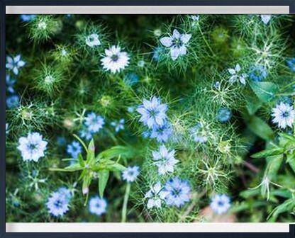 Blue flowers de Marie Guibouin, VisionArt, Photographie d'art, Œuvre encadrée, Prodi Art