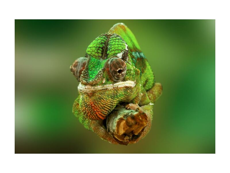 Chameleon from Pierre Gaultier, Prodi Art, close-up, colorful, colourful, green, lizard, reptile, chamaeleonidae, chameleon
