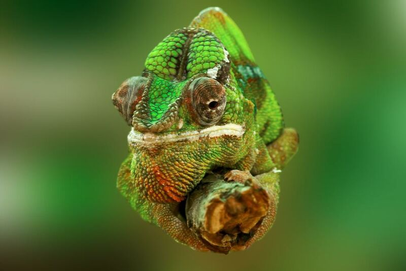 Chameleon from Pierre Gaultier Decor Image