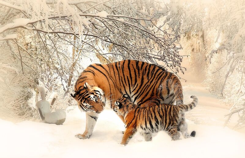 Tigers in the snow from Pierre Gaultier Decor Image