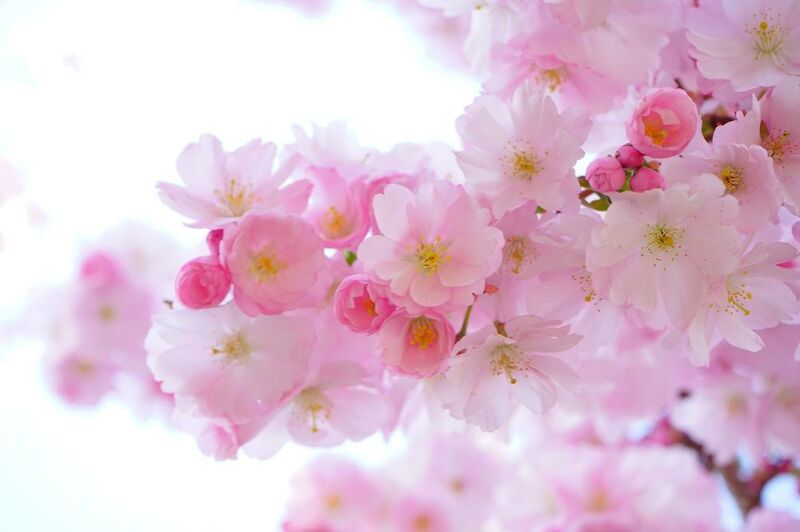 Cherry blossoms from Pierre Gaultier Decor Image