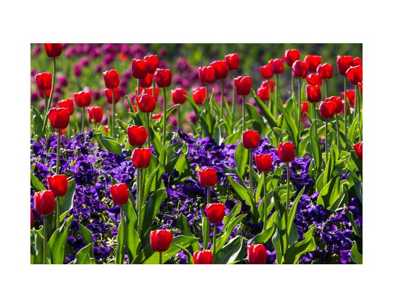 Spring tulips from Pierre Gaultier, Prodi Art, bloom, blossom, flora, flowers, nature, spring, tulips, wild flowers